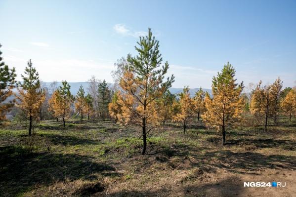Десятки сосен погибли в парке «Гремячая грива» из-за пала травы