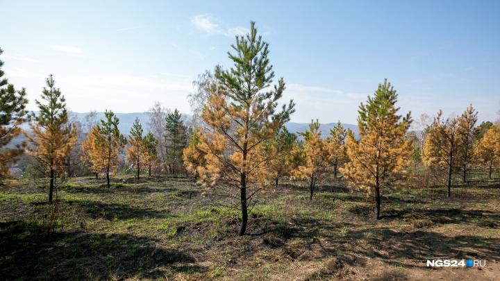 Любители шашлыков и поджигатели загубили сосны в парке «Гремячая грива»