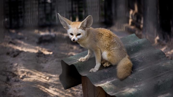Африканские лисы из Новосибирска уехали жить в Японию