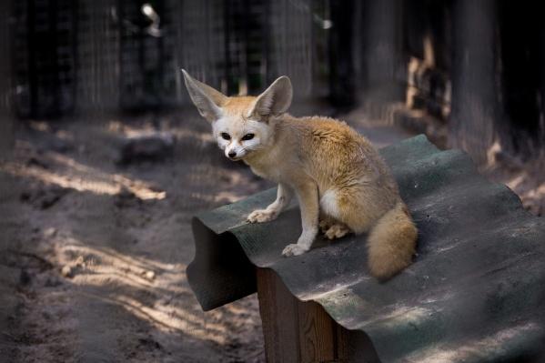 Фенеки переехали из Новосибирска в японский детский зоопарк