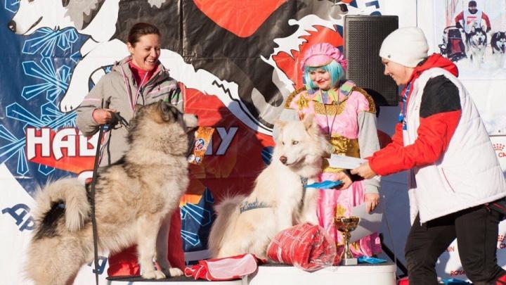 Хаски и маламуты устроили гонки под Новосибирском