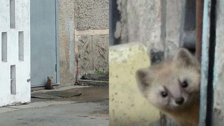 Милого соболя — спасителя дома на Щорса от крыс поймали за игрой во дворе
