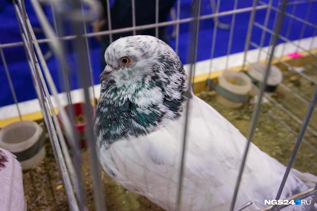 Настоящий рекордсмен выставки — голубь Кинг. Его вывели в  США в качестве мясной породы с тонкой белой или желтоватой кожей.