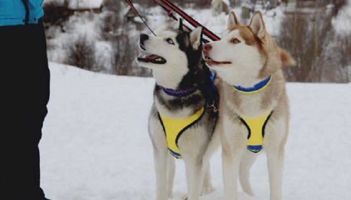 «Люди заводят их ради развлечения»: пермяки спасают брошенных сибирских хаски
