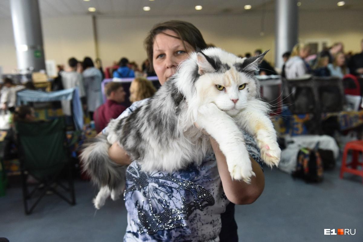 Вот таких суровых красавцев можно было погладить на выставке кошек