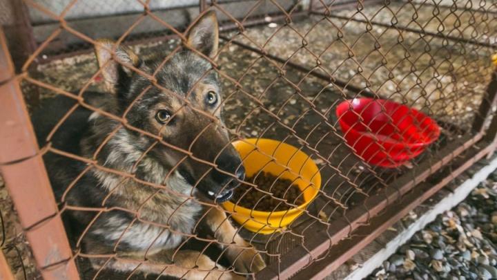 В «Солнечном» бездомная собака после стерилизации напала на первоклассника