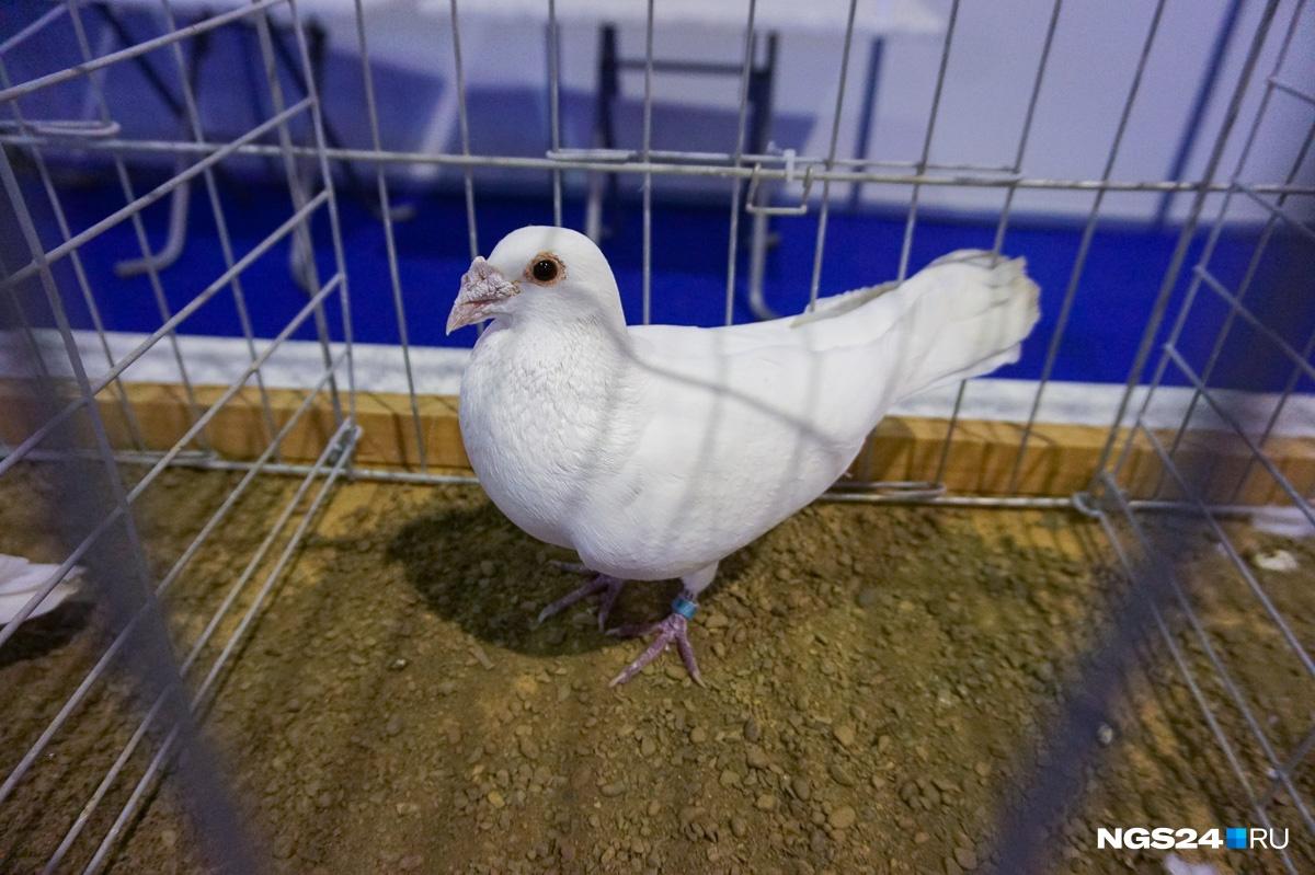 Ну и напоследок — Свифт , один из самых красивых видов голубей. Прибыл из Индии в Африку, затем в Египет, где и нашел вторую родину.