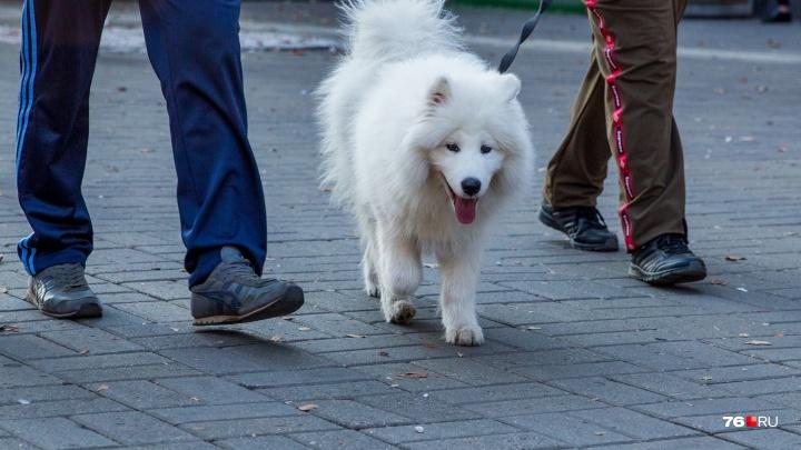 Владельцев собак в Ярославле обяжут иметь справки об умении обращаться с животными