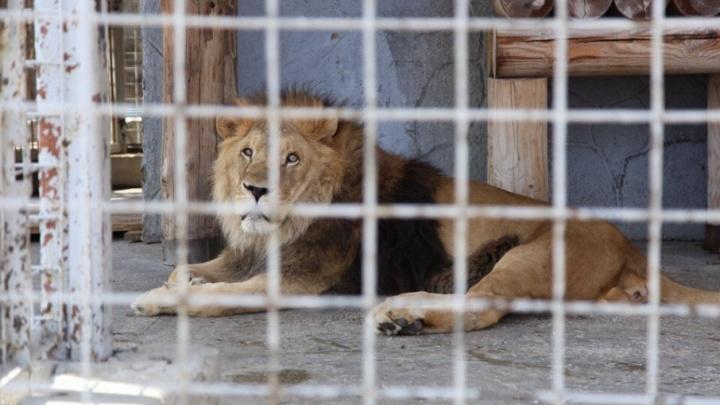 «Кашляет, как будто умирает»: льва из челябинского зоопарка предложили отправить на пенсию