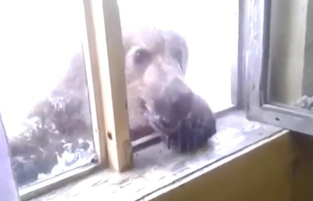 Любопытный медведь через окно забрался в домик к рыбакам и стал звездой YouTube