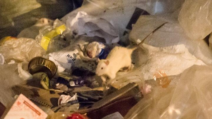 Мэрию обязали провести санобработку в Челябинске из-за угрозы инфекций, передающихся крысами
