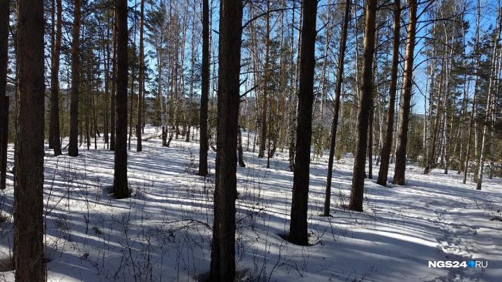 Пожилого мужчину в лесу насмерть прибило сваленным деревом возле «Столбов»