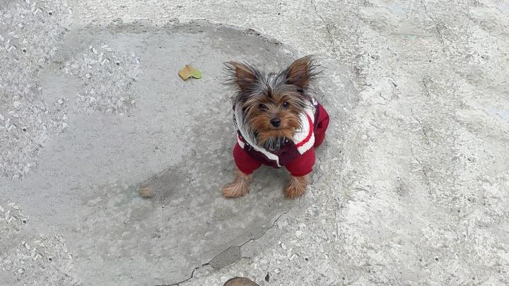 Житель Новочеркасска украл собаку на глазах у хозяйки