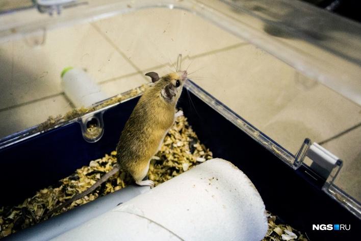Каирская иглистая мышь, как и ёж, на спинке имеет острые жёсткие ороговевшие волосы