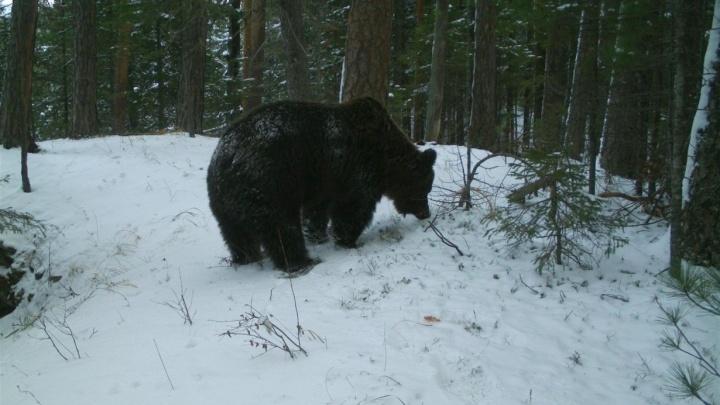 Медведи на «Столбах» залегли в спячку голодными