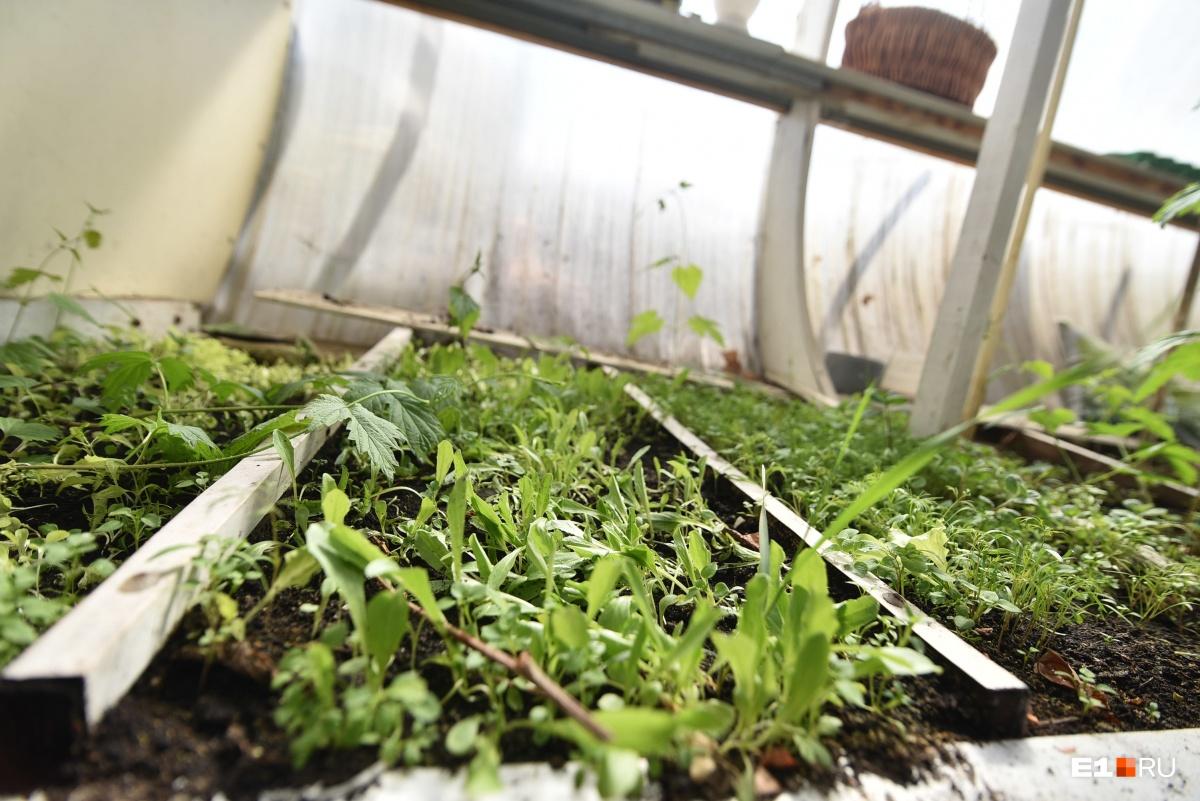 Здесь растет зелень к столу — укроп, петрушка, мята