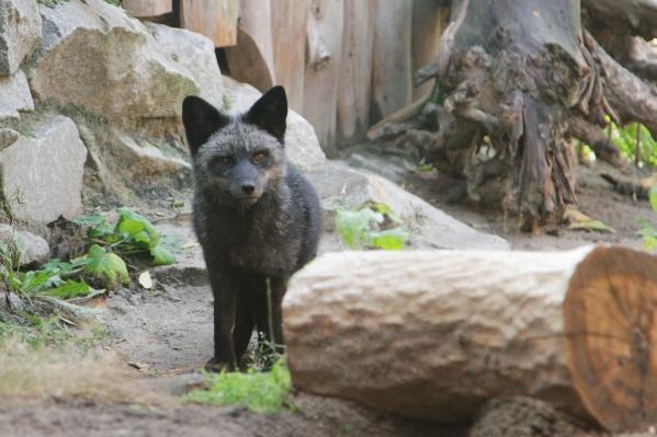 Сотрудники зоопарка надеются, что Тюльпан подружится с лисицей Лизой и они дадут потомство
