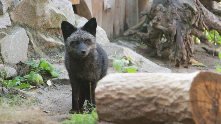 «С предыдущим не ужилась»: лисице изЕкатеринбургского зоопарка привезли нового друга
