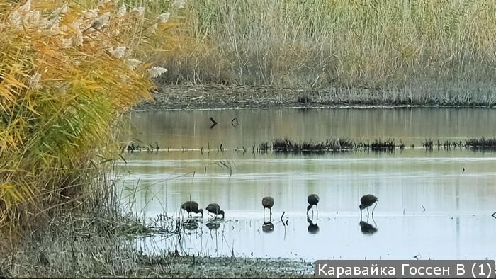 Житель Тольятти обнаружил стаю редких птиц в Сусканском заливе