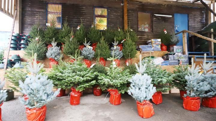 Испорченная крона — испорченный праздник: как правильно выбрать елку на Новый год