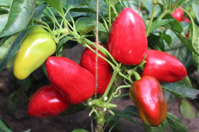 У перца высокая урожайность — около 6 кг с квадратного метра
