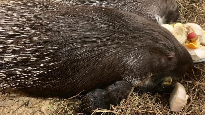 Смотрите, какой милый: в научном зоопарке в Екатеринбурге родился дикобразик