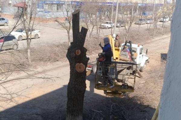 Администрация по традиции назвала деревья старыми и опасными для жизни