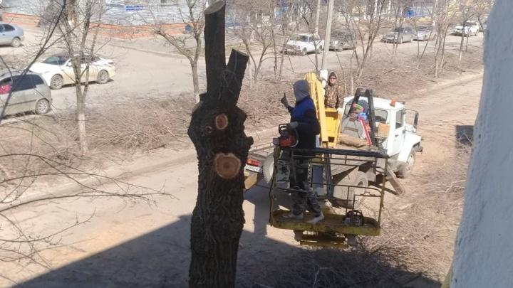 «Эта беда добралась и до нас»: деревья в центре Волгограда превратили в аллею «кочерыжек»