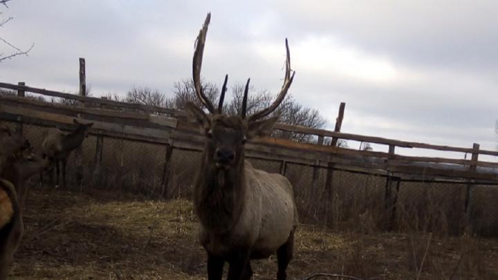 «Настоящая диковинка»: на севере Волгоградской области появились олени