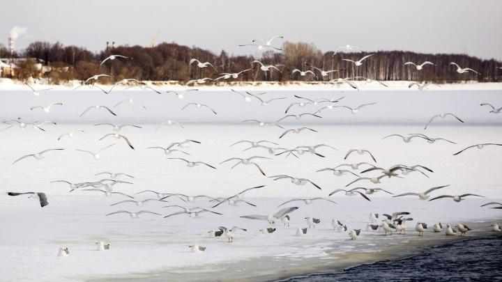 Спасатели достали тело из-подо льда: в Ярославской области в реке обнаружили мёртвого мужчину
