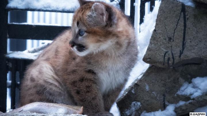 «Это девочка!»: в новосибирском зоопарке определили пол голубоглазого детёныша пумы