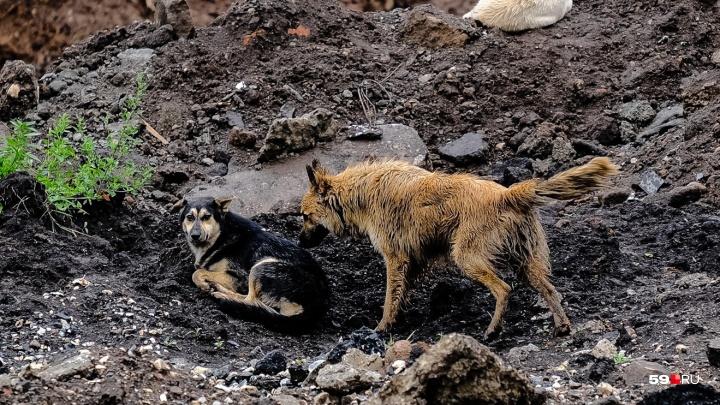 В Прикамье за полтора года года 10 домашних животных заболели бешенством