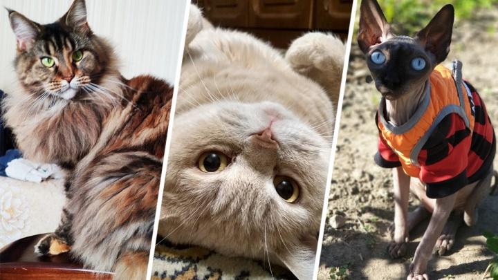 Чья киска лучше: читатели 63.RU поделились фотографиями своих любимцев