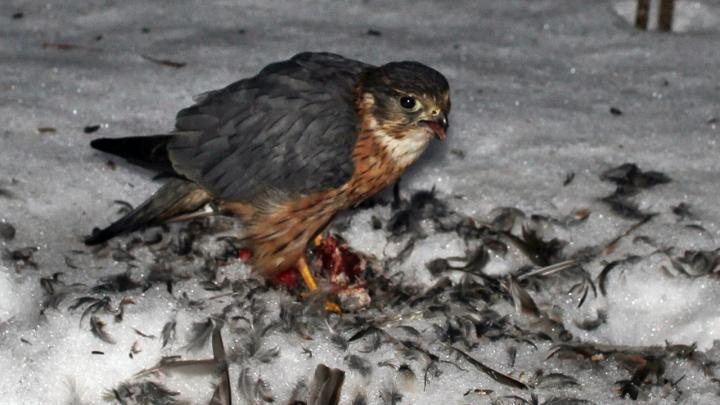 Житель Архангельска заснял ястреба, который охотился в городе на голубей