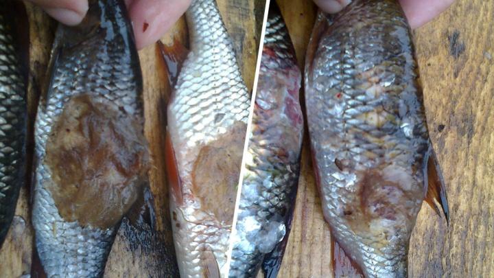 «Болячка некрасивая»: откуда в пинежских озёрах могла взяться рыба с язвами