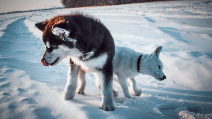 Омичей позвали на бесплатную фотосессию со щенками хаски
