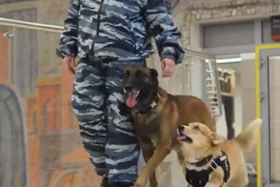 Самый маленький пёс на фото — тот самый корги-полицейский. Доблестно несёт службу вместе с хозяйкой и напарником по имени Зигер