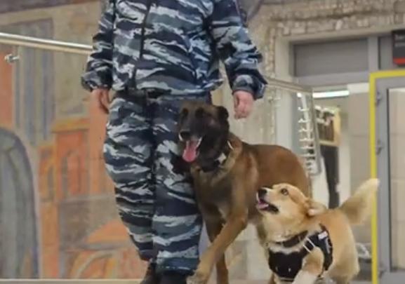 Сладкий пирожочек на службе: нижегородского корги-полицейского показали на Первом канале