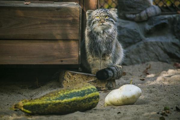 Овощи в зоопарке дают и хищникам. На фото — манул с кабачком и патиссоном