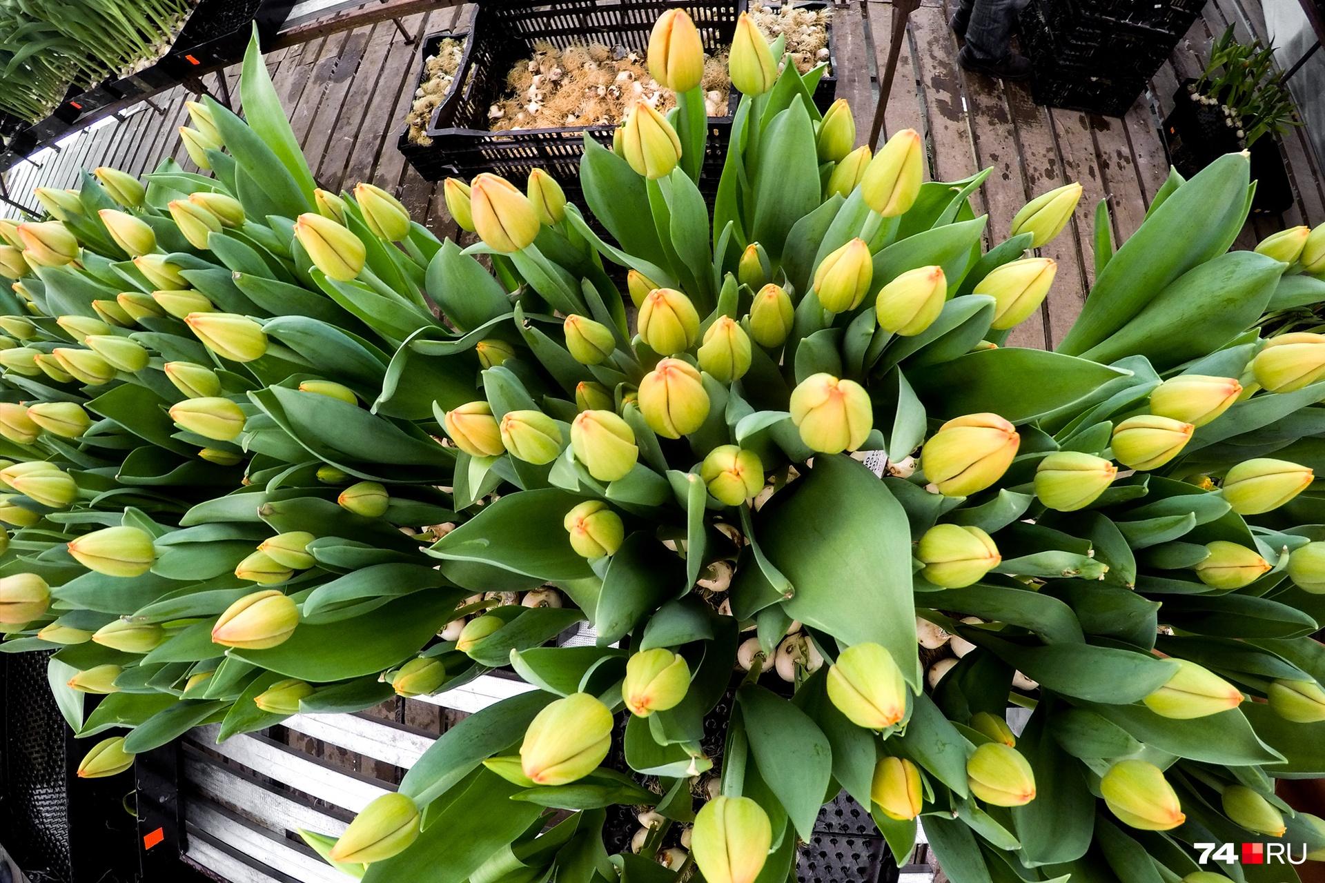 Тюльпаны держат в прохладе