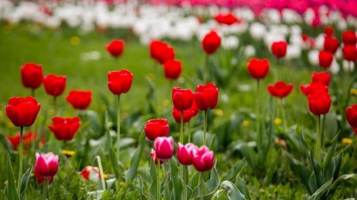На улицах Новосибирска начали цвести тысячи красивых тюльпанов