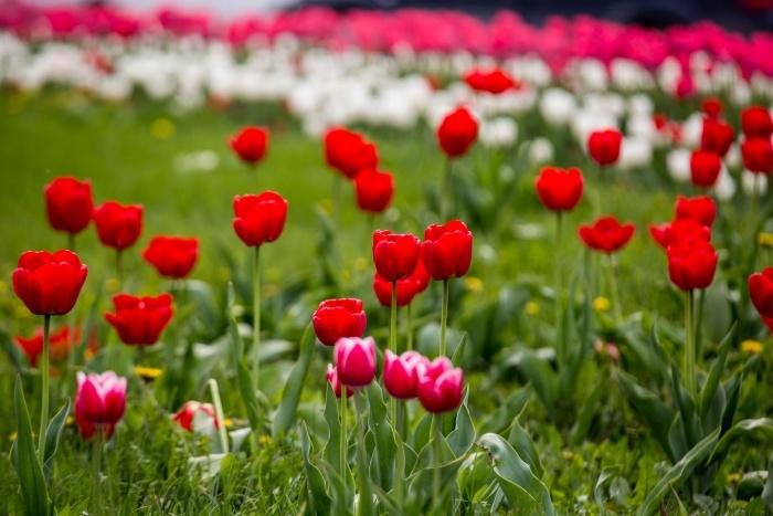 Тюльпаны расцвели в Новосибирске, несмотря на переменчивую погоду и заморозки