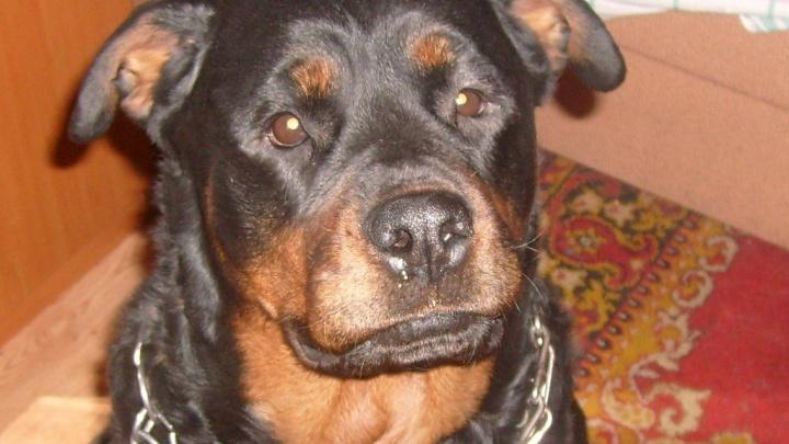 Почему не стало колли, эрделей и догов: челябинский собаковод — об уходящем культе псов