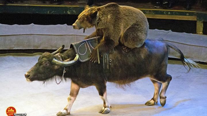 «Это вам не дрессированные коровы»: в Волгограде медведи оседлали ленивых буйволов