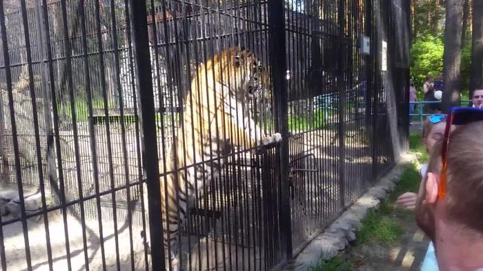 Амурский тигр долго провожал взглядом посетительницу в тигриной футболке