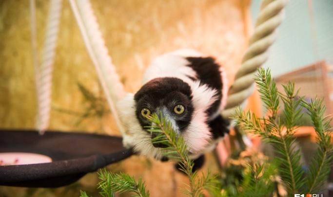 Слонам — обед, остальным — игрушка: в екатеринбургском зоопарке начали собирать все непроданные ёлки