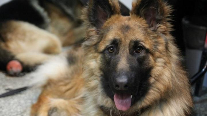 Пермячка требует за укус собаки 100 тысяч рублей