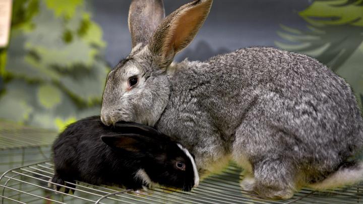 В Омске открылась выставка с кроликами и носухой, которая любит делать причёски