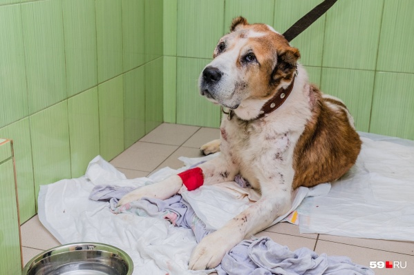 Лаваш более месяца был под присмотром ветеринаров