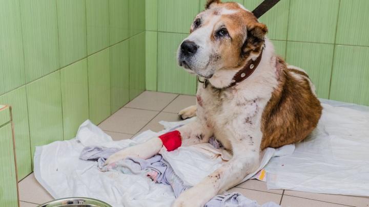 Пермские зоозащитники пожаловались на бездействие полиции и прокуратуры по делу пса Лаваша